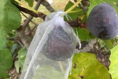 Protect the figs with bags to make sure you get to eat them