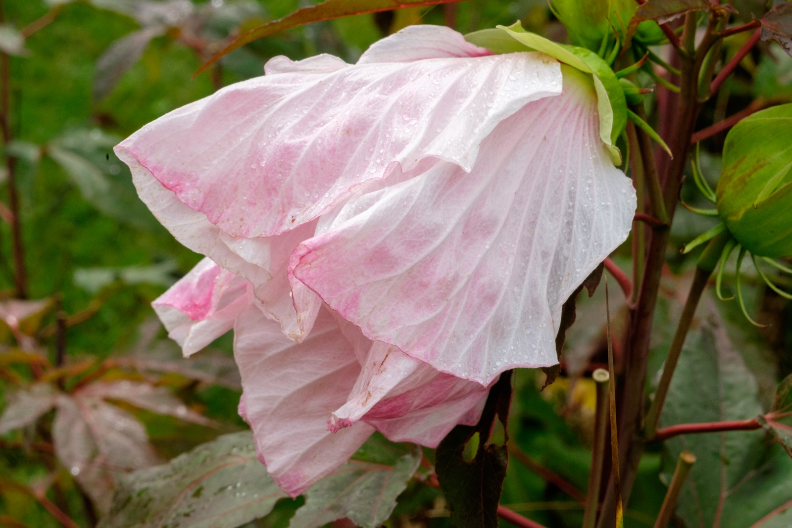 a fading hibiscus