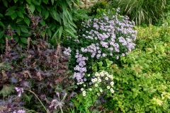 Red shiso and asters