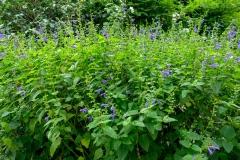 Salvia guaranitica 'Blue Enigma'