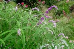 "Salvia leucantha ""Purple Velvet"""